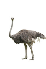 A Beautiful Female Ostrich Isolated on White