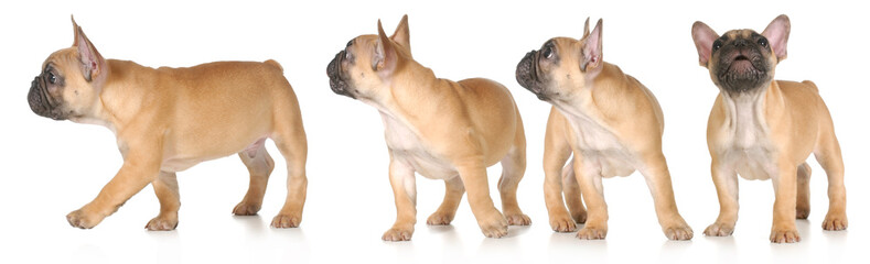 Foto op Canvas Franse bulldog puppy series