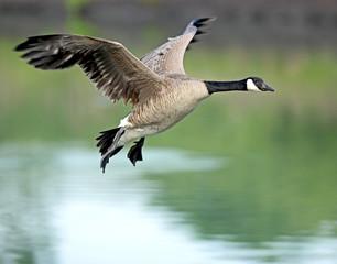Canadian Goose in flight2