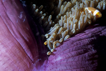 Clown fish in anemone with shrimps in Raja Ampat Papua