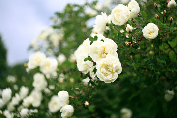 bushes of white roses, soft effect