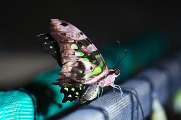 butterfly;