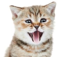British Shorthair kitten cat head