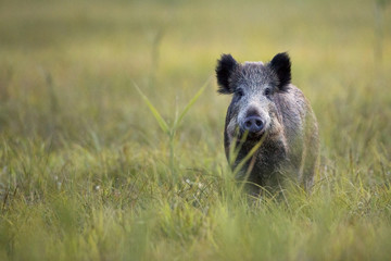Boar in the wild, in the clearing.