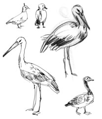 White Stork. Brant goose. Set. Hand-drawn.