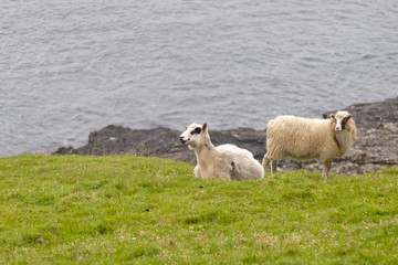 Two sheep ram on the blue sea and grass background