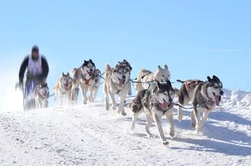 Wall Mural - dog sledge