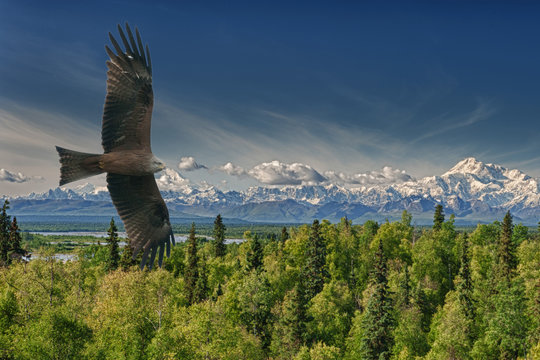 Eagle flying on Alaska Mountains background