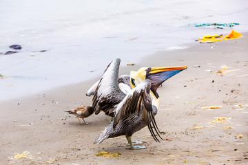 Pelicans on Ballestas Islands,Peru  South America