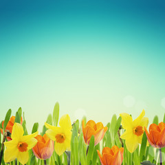 Tulips and daffodils in grass