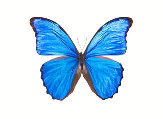 Butterfly Morpho Didius