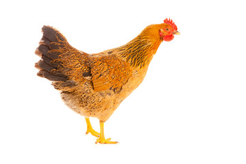 brown chicken on a white background , isolated
