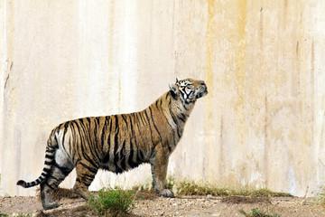 Portrait of a tiger alert near a wall