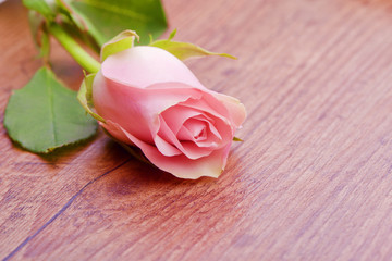 A Beautiful Single Pink Rose on wood table