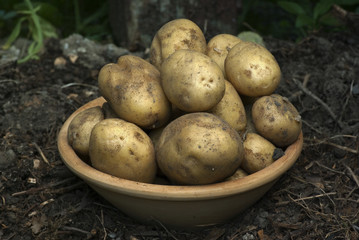Bowl with gathered new potatoes in summer.