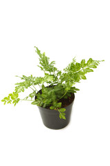 Fern (bracken) houseplant in pot , isolated