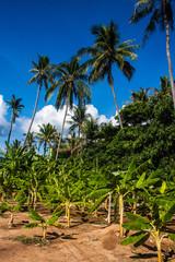 Banana plants and palms, Koh Phangan island, Thailand