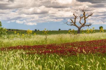 Parco  Nazionale  Alta Murgia:albero e fiori viola. - PUGLIA -