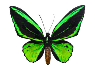 Butterfly Ornithoptera priamus