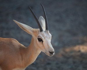 Gazelle. Arabian Wildlife in natural habitat