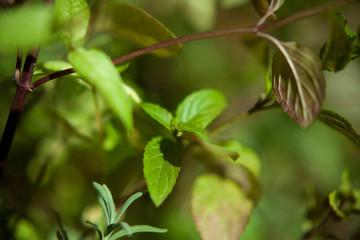 herb fresh