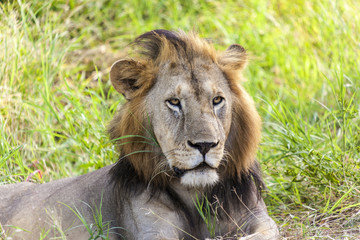 Profile Of A Lion In Tanzania