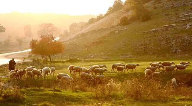 Shepherd herding sheep at sunrise