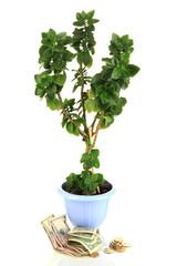 Money tree with money isolated on white
