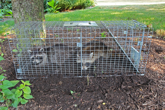 Two raccoons (Procyon lotor) caught in a live trap