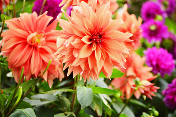 Poster de jardin Dahlia Blooming dahlias in the garden on September