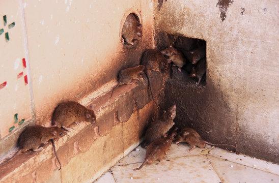 Holy rats running around Karni Mata Temple, Deshnok, India