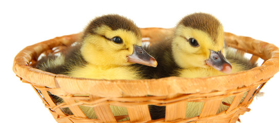 Cute ducklings in wicker basket, isolated on white