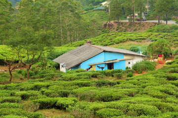 Wall Mural - house in tea plantation