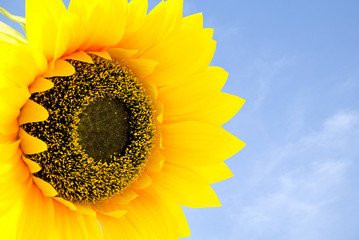 The sunflower and blue sky