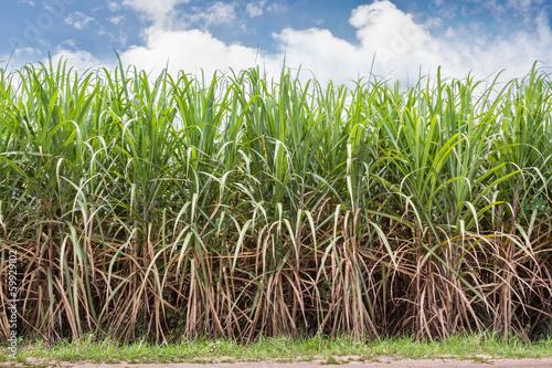 Wall mural Sugarcane field