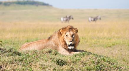 lion lying lazy in the savannah in africa - masai mara