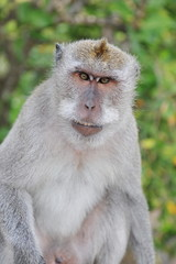 Monkey - Asian
