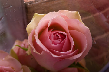 romantic pink rose as a sign of love