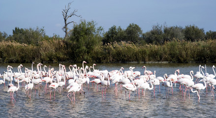 Flock of Flamingos in Nature Park of Camargue, France