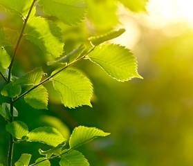 Fototapete - Green leaves background. Shallow DOF