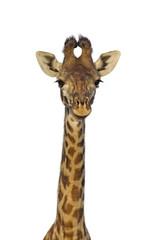 Masai giraffe isolated