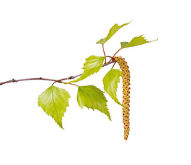 Birch leaves and flower catkin isolated on white