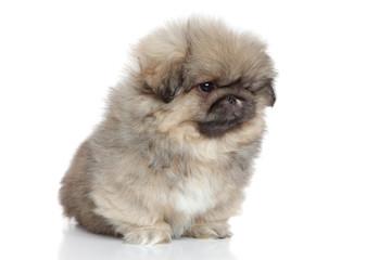 Pekingese puppy portrait on white background