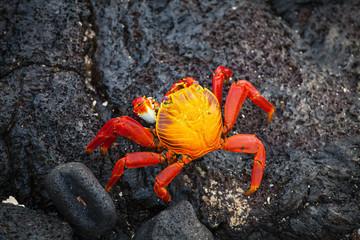 Galapagos crab, Galapagos Islands, Ecuador