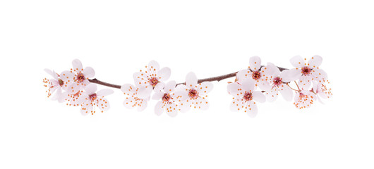 Branch of Japanese cherry with blossom, isolated on white Wall mural