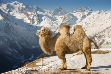 Tuinposter Kameel camel in the mountains
