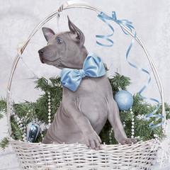Thai ridgeback puppy in a basket