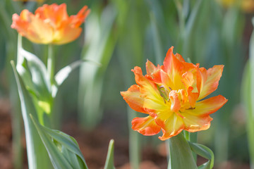 Tulip colorful flowers garden in spring