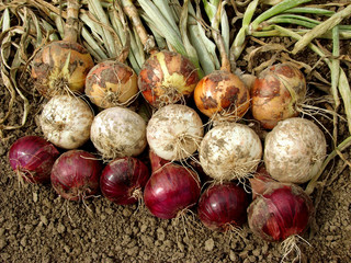 harvested onions different varieties