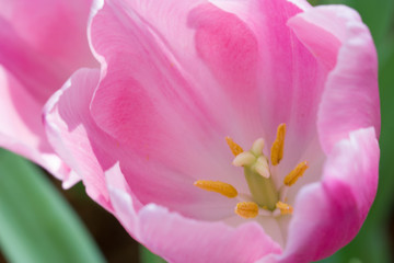 Coldup pink Colored Tulip Flower